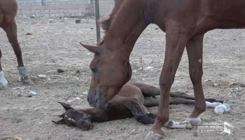ردود فعل غاضبة تجاه مقتل وإصابة عشرات الخيول بصنعاء إثر غارات للتحالف