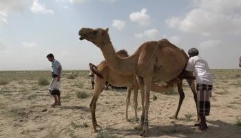 لحج..رعاة الأنعام يعانون غضب الصحراء وقلة المراعي
