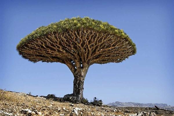 """مسؤول يمني يحذر من مخطط إماراتي جديد لنهب أشجار """"سقطرى"""" النادرة"""