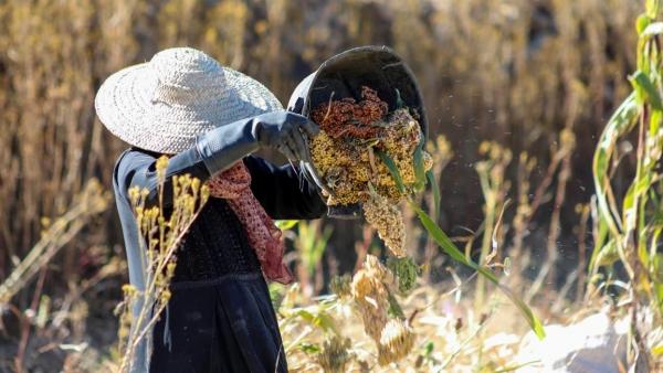 الجراد يغزو مزروعات اليمن وضعف وسائل المكافحة يفاقم الخسائر