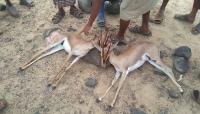 صيادون يقتلون اثنين من الغزلان البرية في محافظة شبوة شرقي اليمن