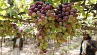 حتى العنب… ينزف في اليمن